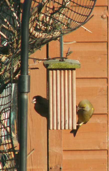 Greenfinches at the sunflower mesh feeder