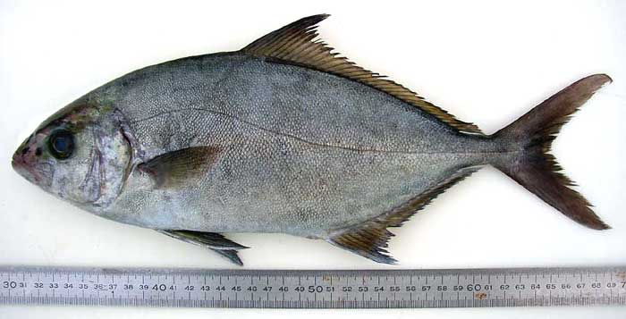 Guinean Amberjack, Photograph   �  Richard Lord