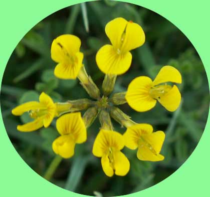 Horseshoe Vetch