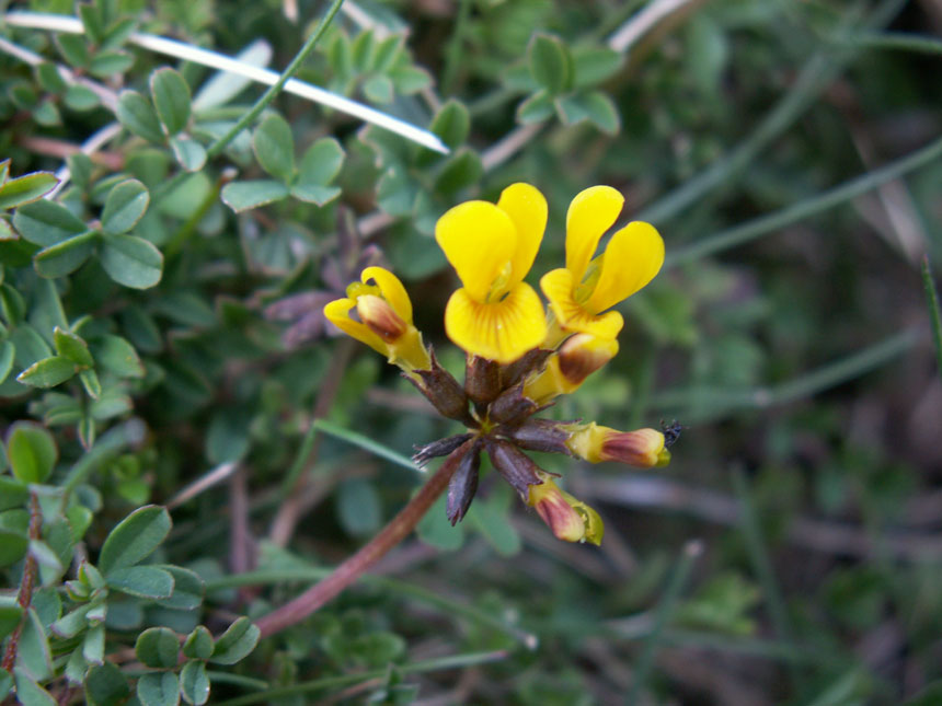 The first Horseshoe Vetch on Mill Hill
