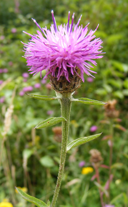 Hardhead or Lesser Knapweed