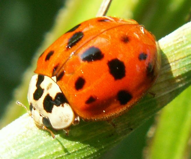 ladybirds - photo #2