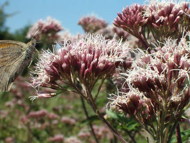Butterflies (in this case a Meadow Brown) were attracted to the Hemp Agrimony
