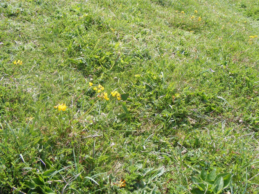 Spot the butterfly amongst the Horseshoe Vetch leaves