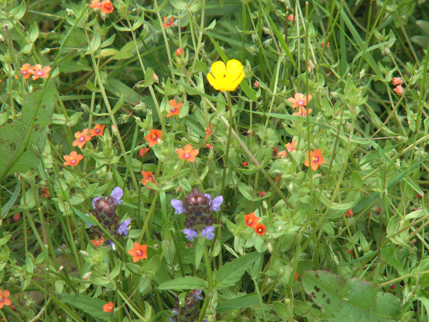 Scarlet Pimpernel, Selfheal and Meadow Buttercup in flower