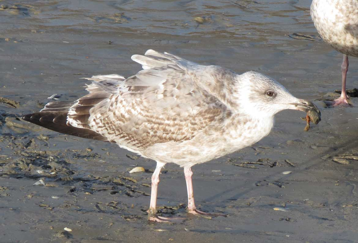 Herring Gull (immature) pecking at a crab (Click on the image for the video)