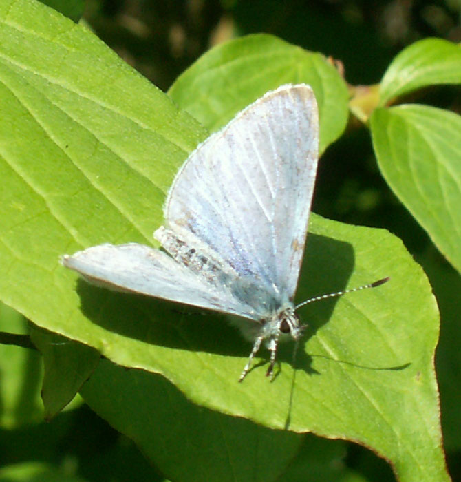 Holly Blue on the hedges of the Coastal Link Cyclepath, north of Old Shoreham