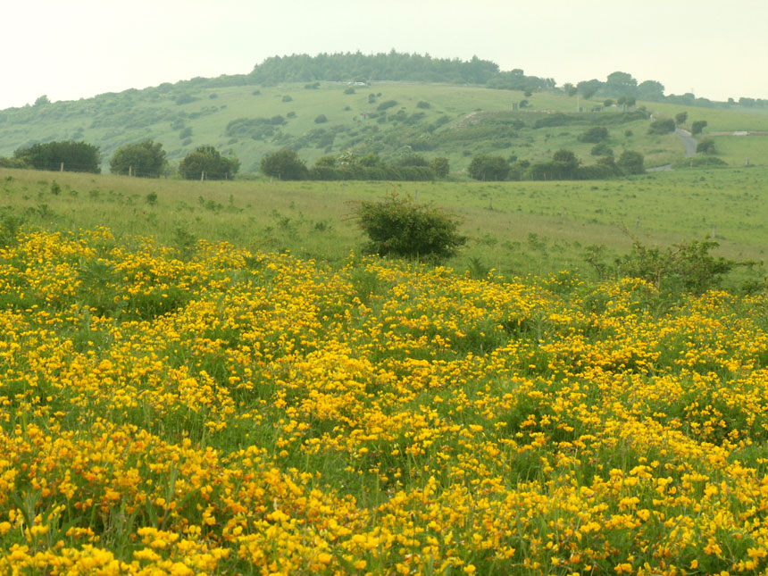 Swathes of (1.5 acres) Bird's Foot Trefoil with the copse at Mill Hill in the background
