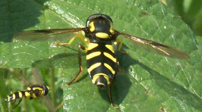 www.glaucus.org.uk/Hoverfly0088e.jpg