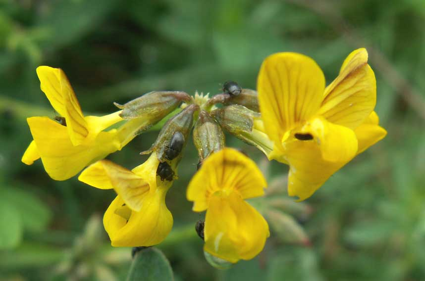 Note the small Pollen beetles on the Horseshoe Vetch