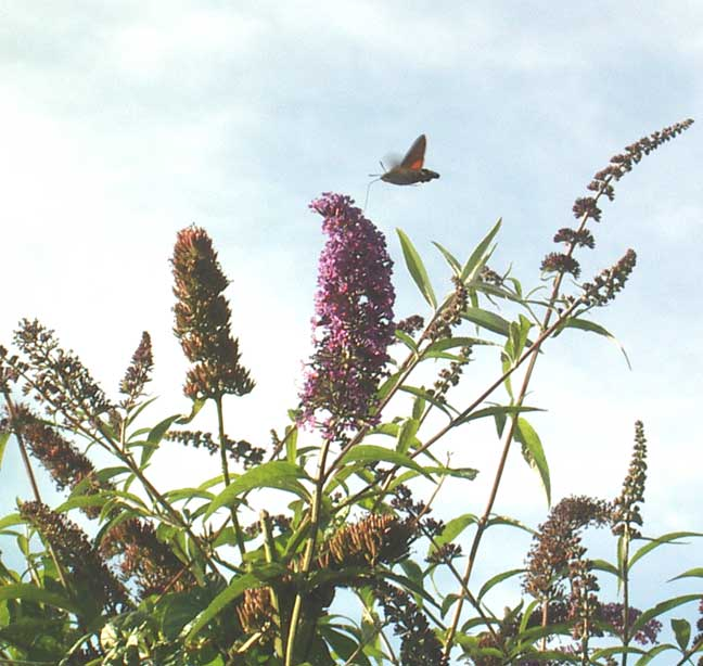 Hummingbird Hawk-moth feeding on Buddleia, 2004