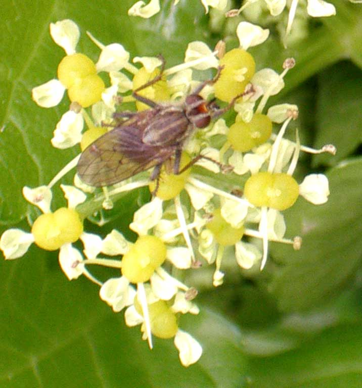 Yellow Dung-fly, Scathophaga stercoraria
