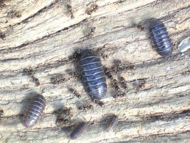 Pill Bugs and Black Ants