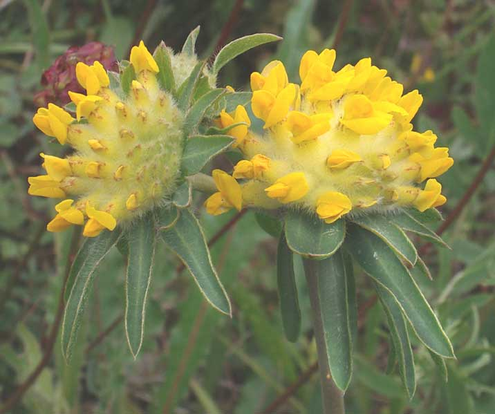 The first Kidney Vetch in flower in 2005