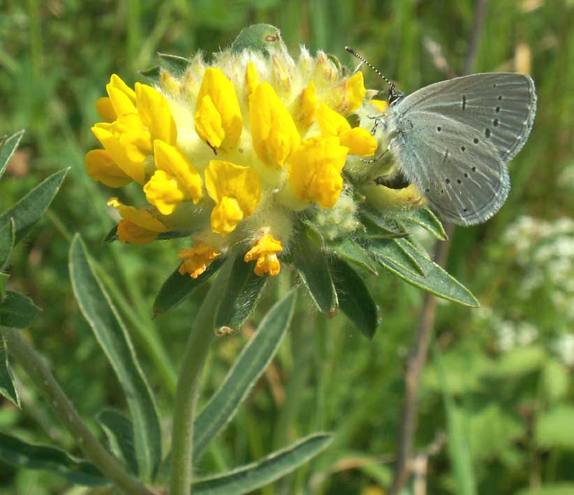 Kidney Vetch with Small Blue