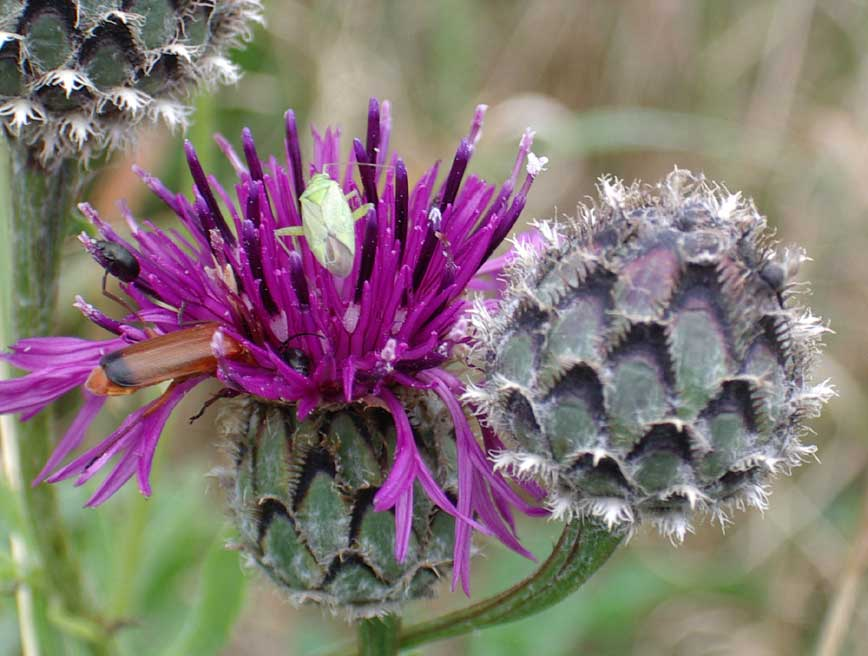 Greater Knapweed (near the Reservoir)