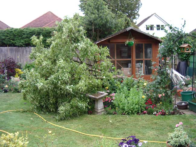 Toppled Laburnum Tree