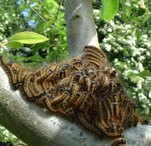 Brown-tailed Moth caterpillars (Photograph by Ray Hamblett)