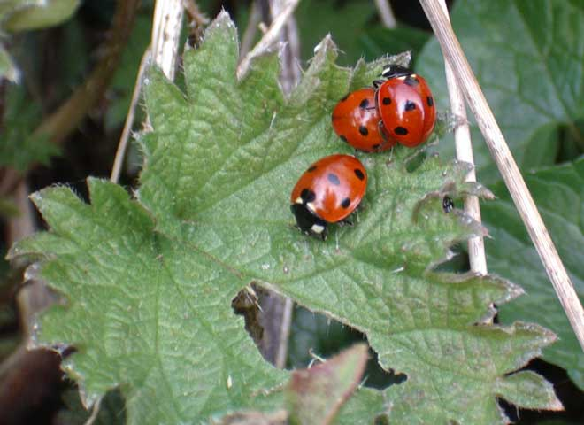 ladybirds - photo #30