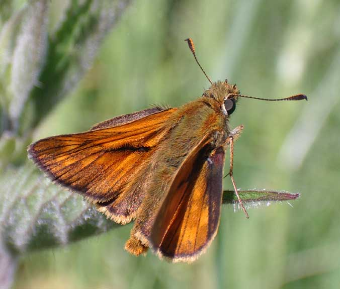 Large Skipper from the Coastal Link Cyclepath