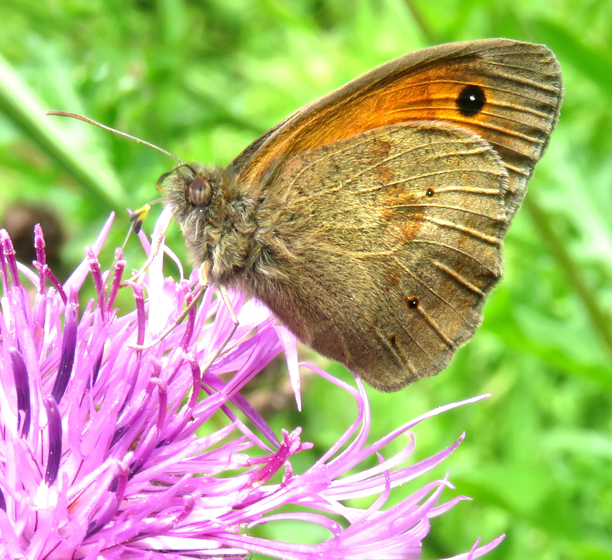 Meadow Brown on Greater Knapweed