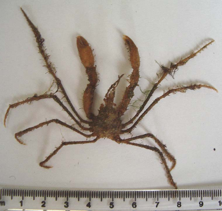 Long-legged Spider Crabs