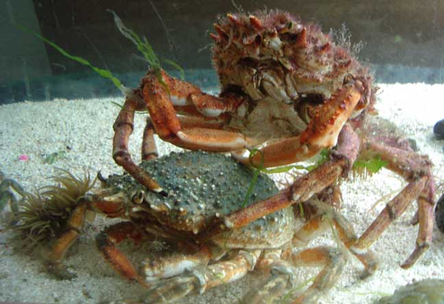 Spider Crabs (the female discovered on the beach is underneath the male in this aquarium photograph)