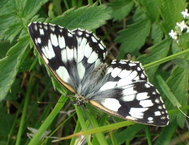 Marbled White Butterfly that has struggled to emerge (Photograph by Andy Horton)