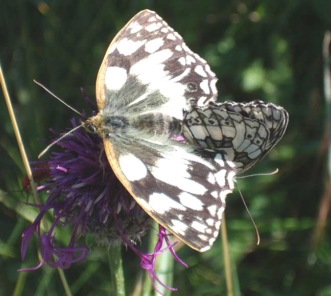 Marbled Whites (Photograph by Andy Horton)