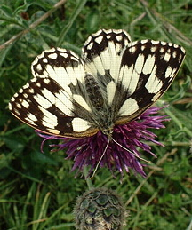Marbled White (photograph by Ray Hamblett)