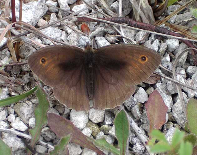 Meadow Brown (Photograph by Andy Horton)