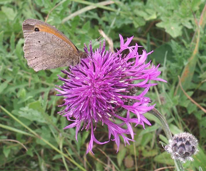 Meadow Brown on Greater Knapwed