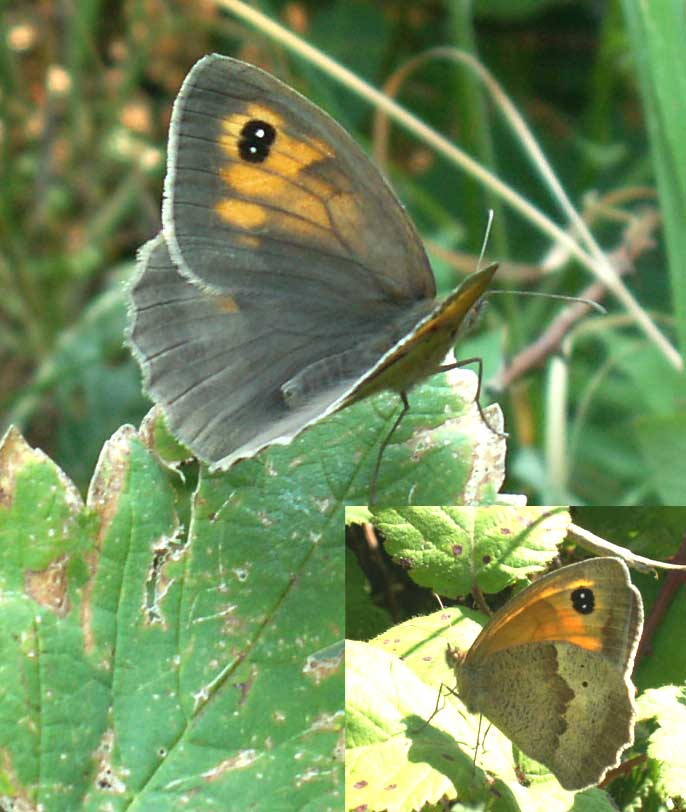 Meadow Brown with the Double Spick