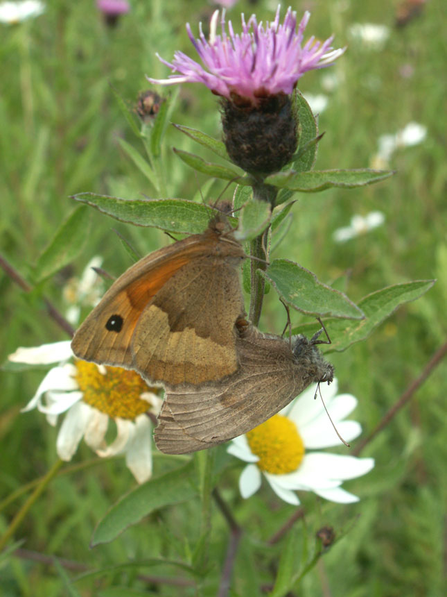 Meadow Browns on Hardheads with Ox-eye Daisy
