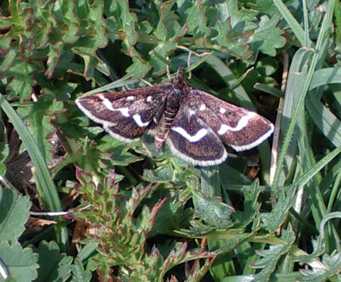 Pyrausta nigrata (Photograph by Andy Horton, April 2004)