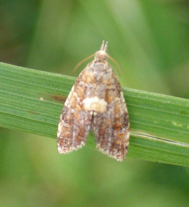 Unidentified Moth (Slonk Hill South) 17 July 2004