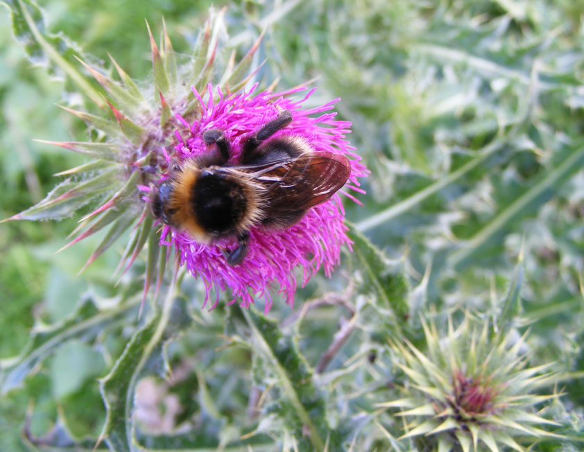 Buff-tailed Bumblebee on Musk Thistle