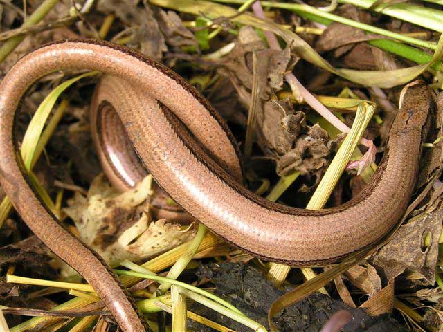 Slow Worms (Photograph by Brenda Collins)