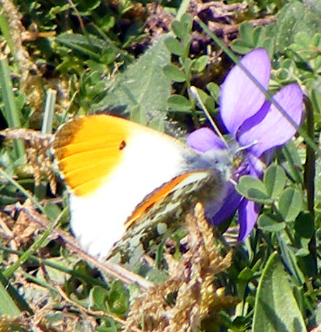 Orange-tip Butterfly visiting a Dog Violet (early afternoon)