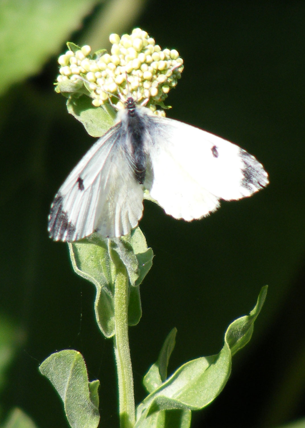 Female Orange-tip on Hoary Cress