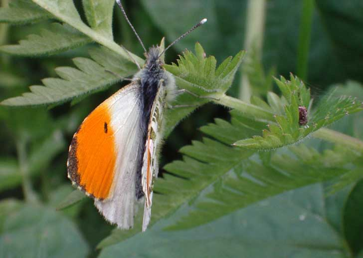 The Orange-tip Butterfly has just landed
