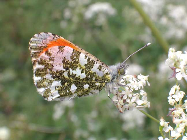 The Orange-tip Butterfly perched and the Cow Parsley is blowing about in the breeze