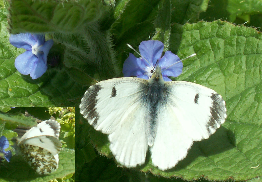 Female Orange-tip Butterfly