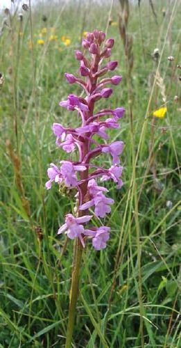 Fragrant Orchid (Photograph by Andy Horton)