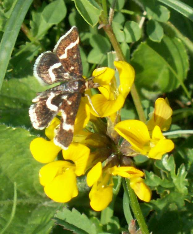 Pyrausta nigrata on Horseshoe Vetch