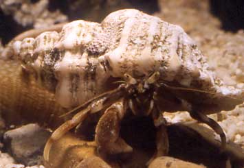 Common Hermit Crab in the shell of a Sting Winkle (Photograph by Andy Horton)