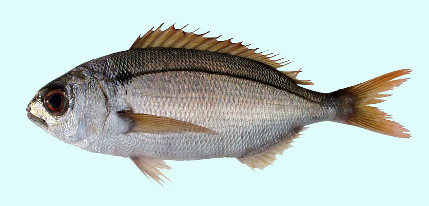 Red Sea Bream, Copyrighted Photograph by Richard Lord (Guernsey)