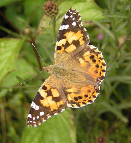This superb shot of a Painted Lady was captured on camera by Brenda Collins.
