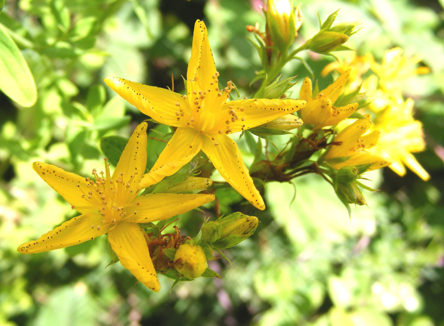 Perforate St. John's Wort