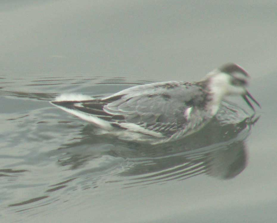 Grey Phalarope feeding (too slow a shutter speed makes the head blurred)